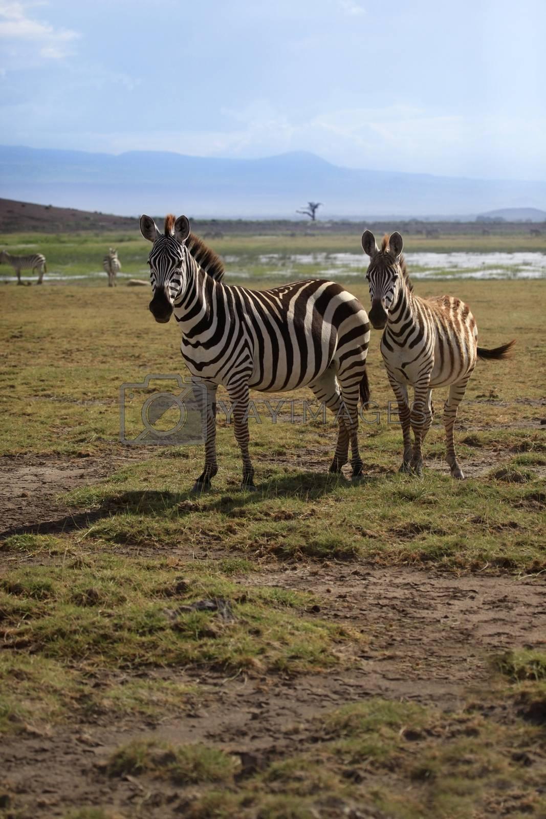 Zebras herd on savanna. Amboseli national park in Kenia