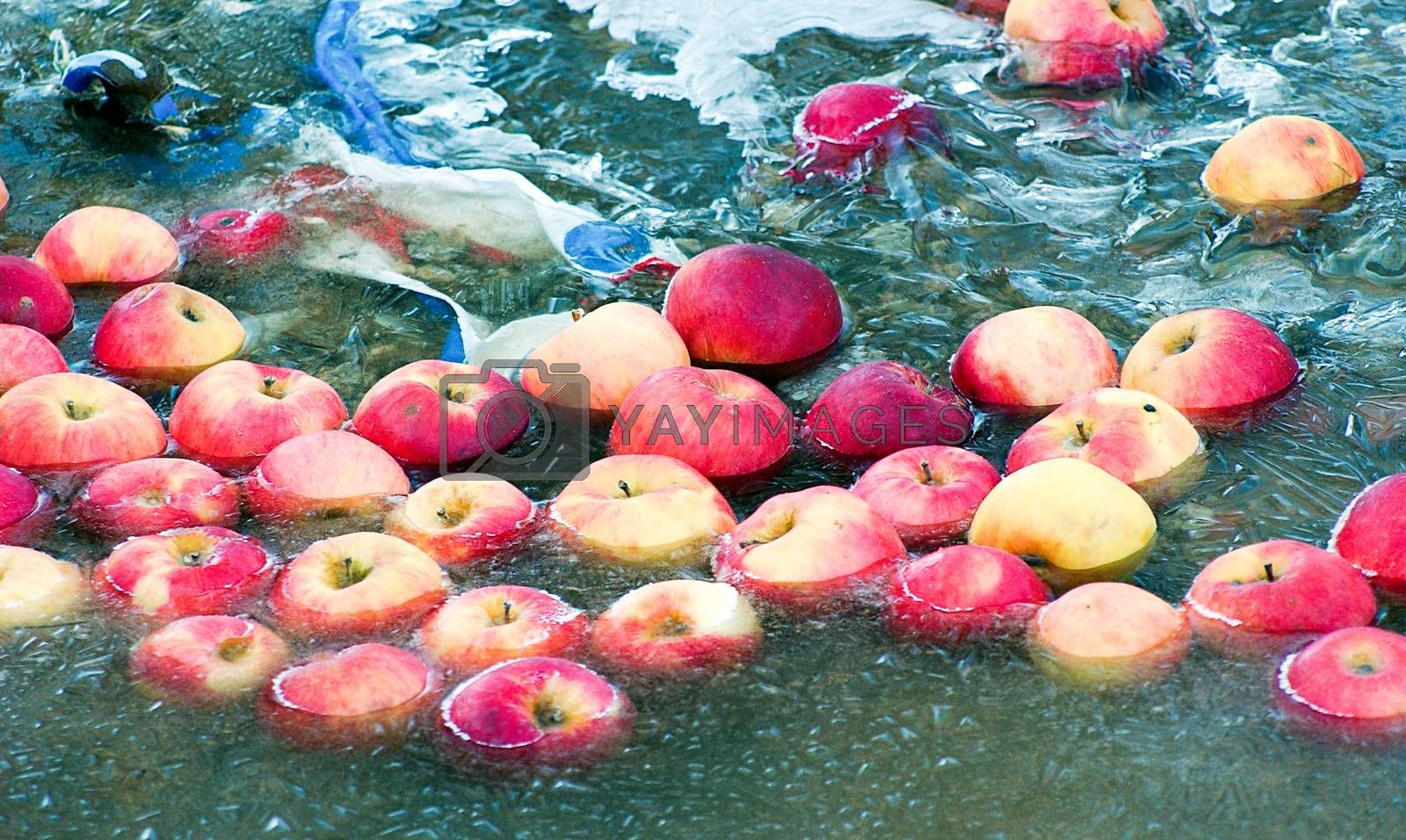 Picture of an Apples trapped in a frozen water