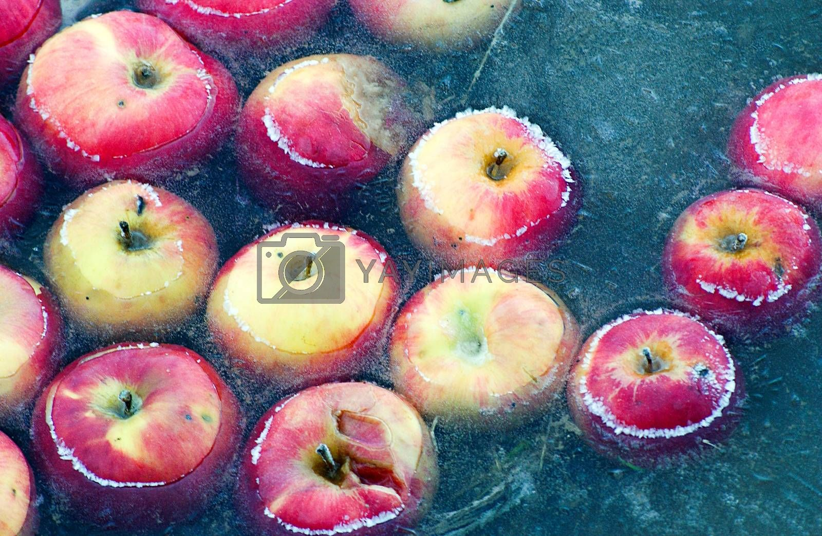 Royalty free image of Apples trapped in a frozen water by nehru