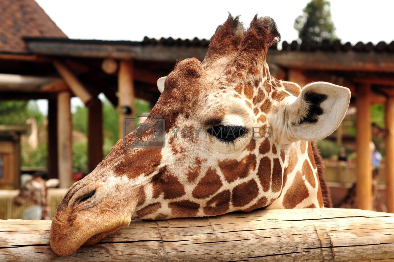 Giraffe Head in Zoo. (Giraffa Camelopardalis) African Animals Photo Collection.