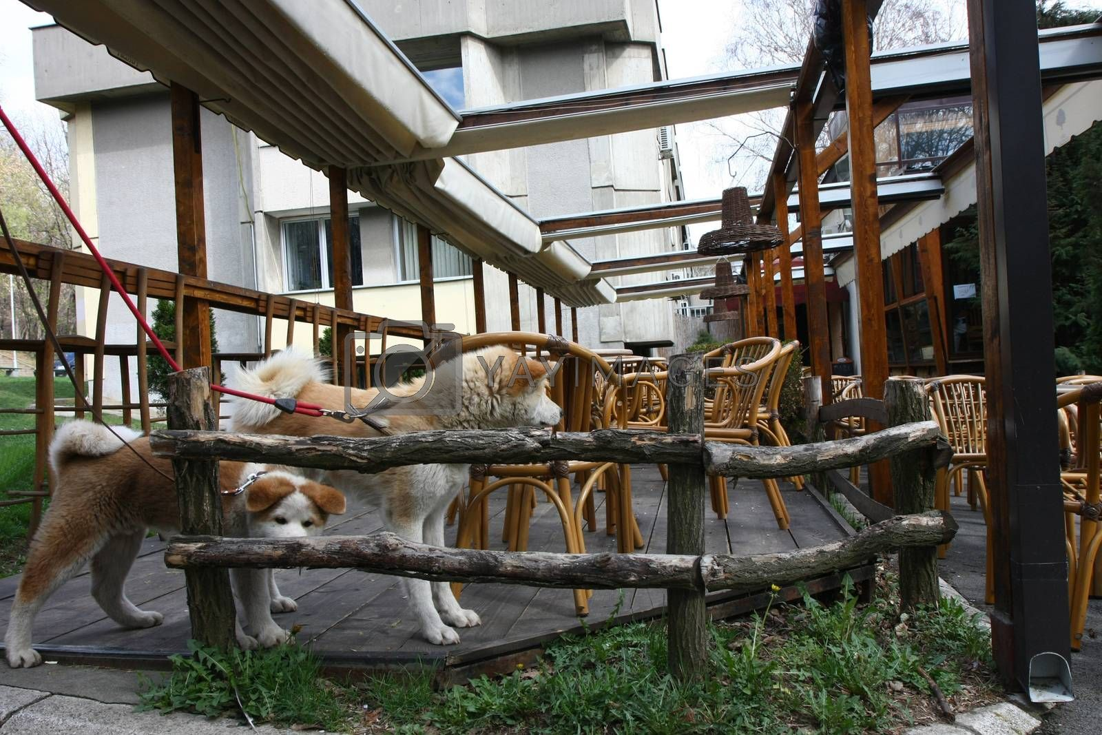 Akita Inu dogs trying to get in cafe