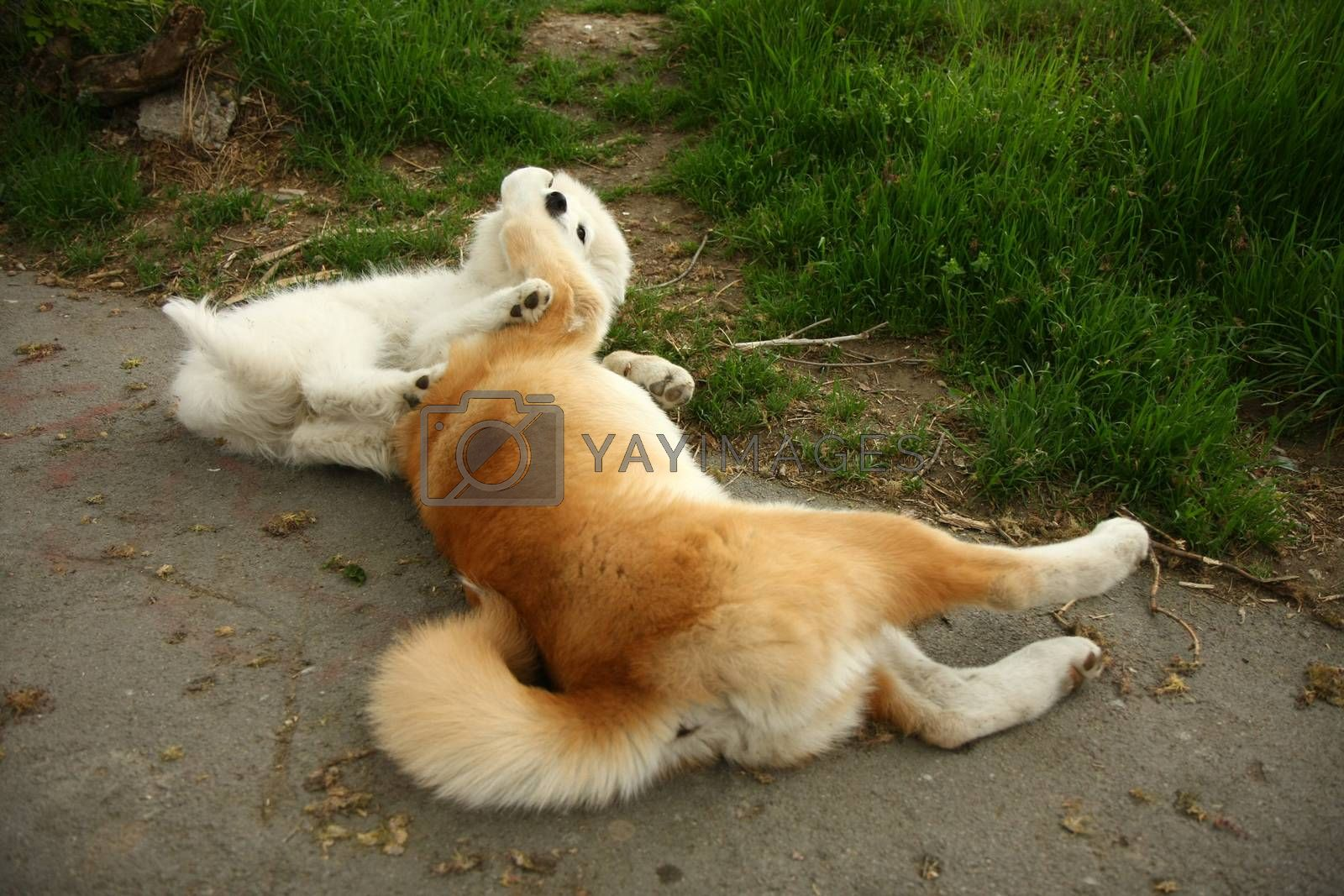 Cute puppies enjoying and playing on the sidewalk