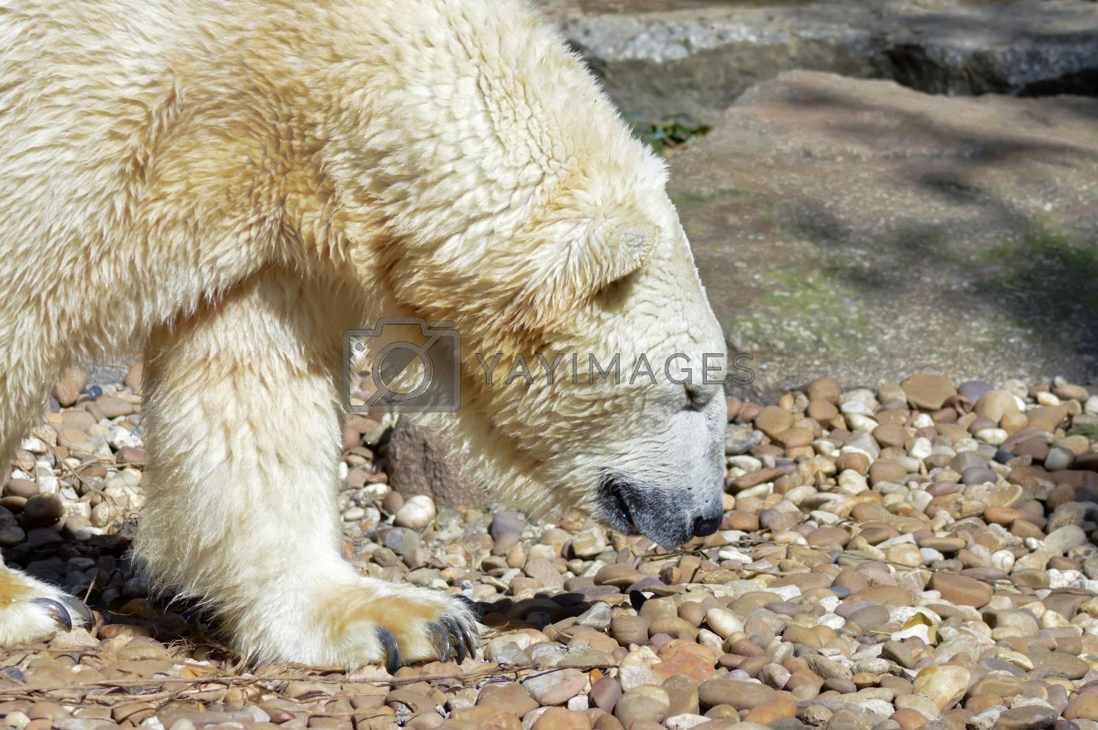 Polar bear on pebbles in an animal park in France