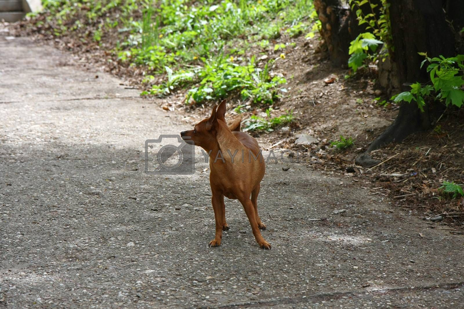 Miniature Pinscher posing by tdjoric