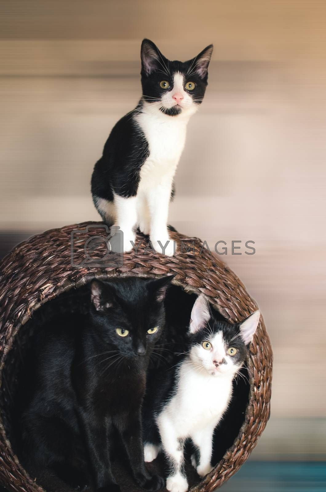 mother cat and her two kittens sitting in the basket tower