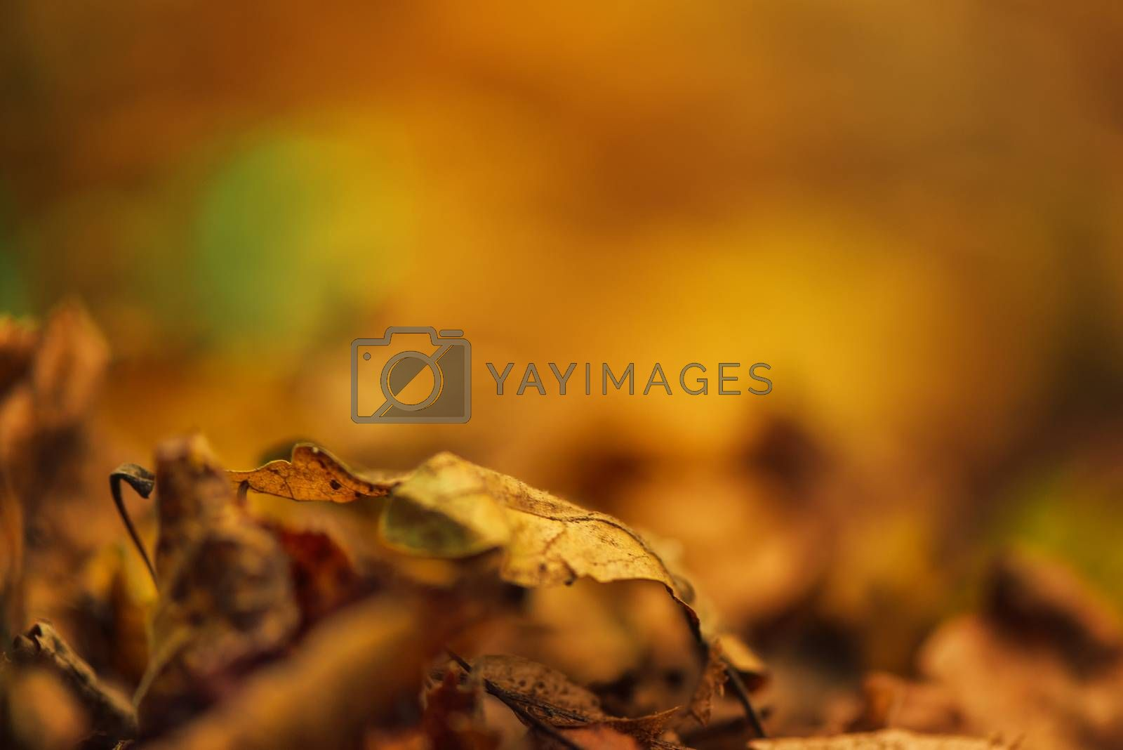 Dry autumn leaves on ground, defocused fall season background, blurred park alley as copy space