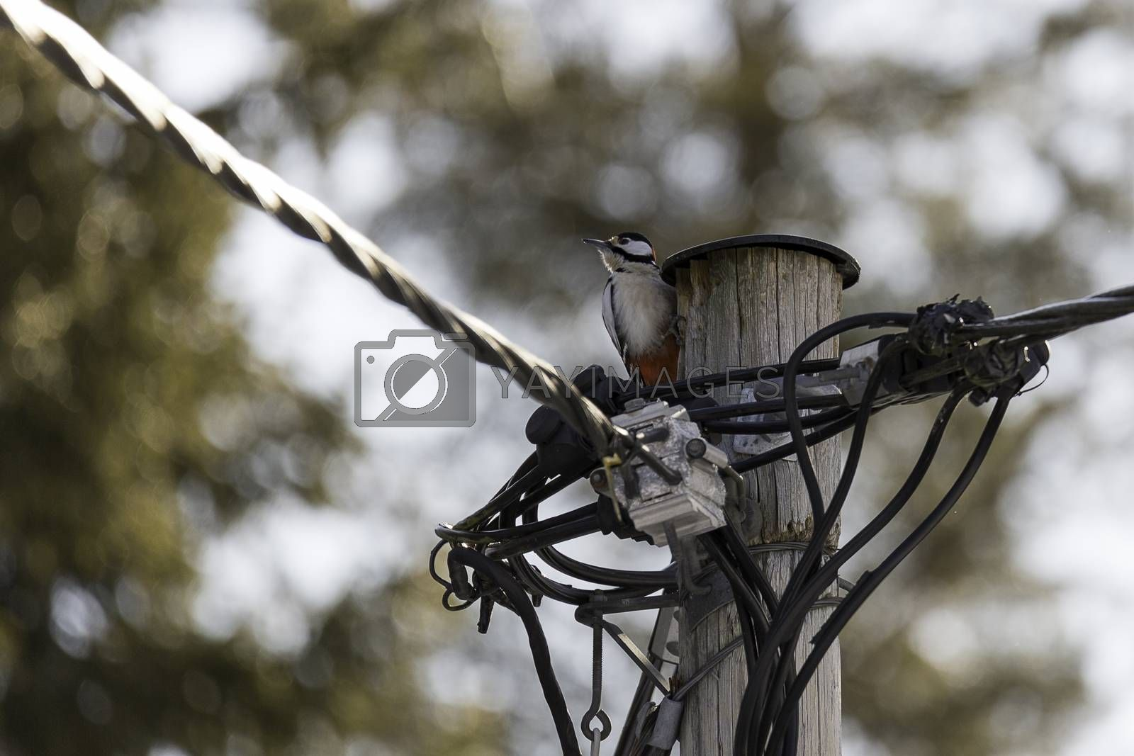 Great Spotted Woodpecker with Wires by Emmoth