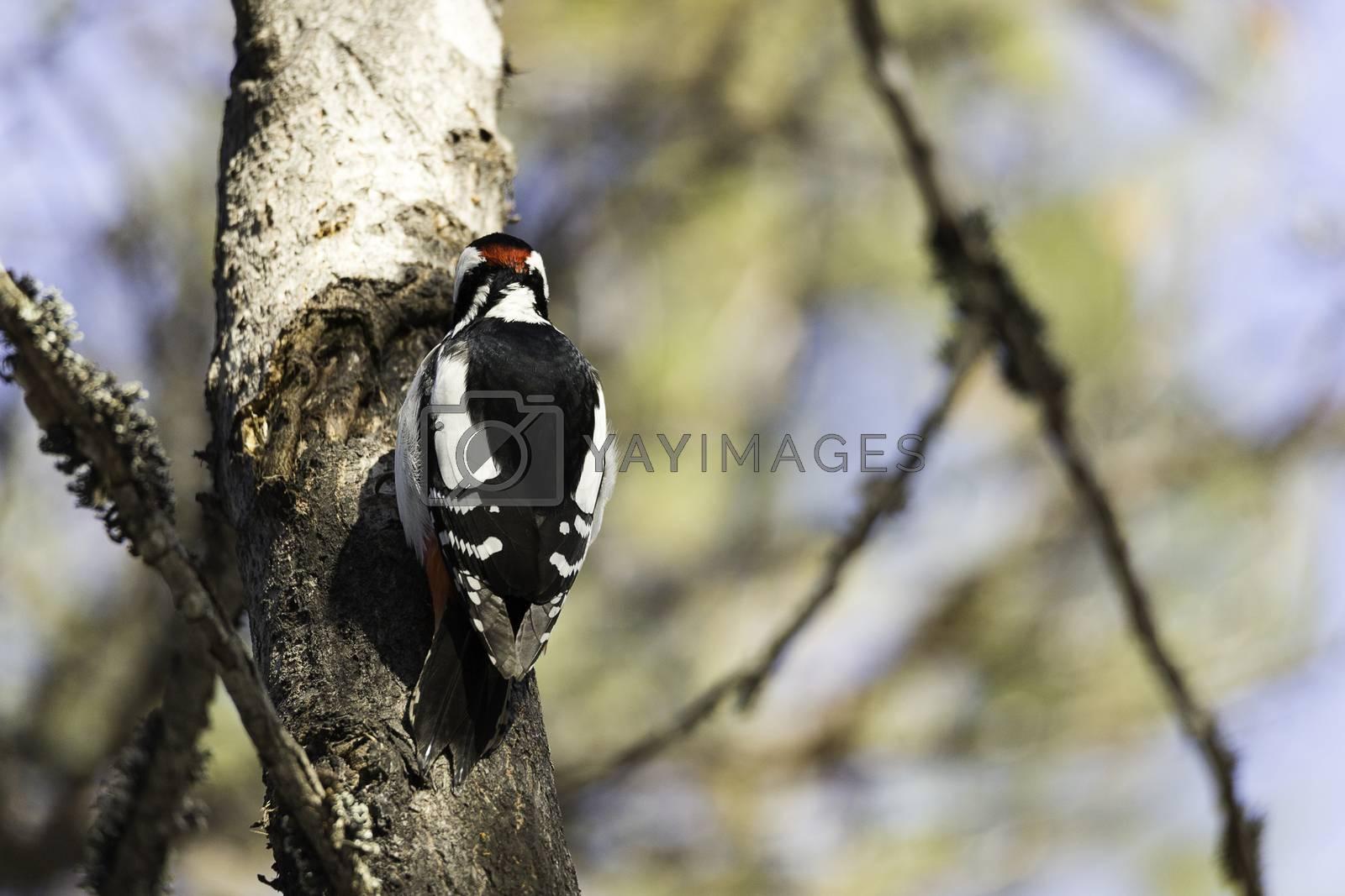 Great Spotted Woodpecker in Tree.