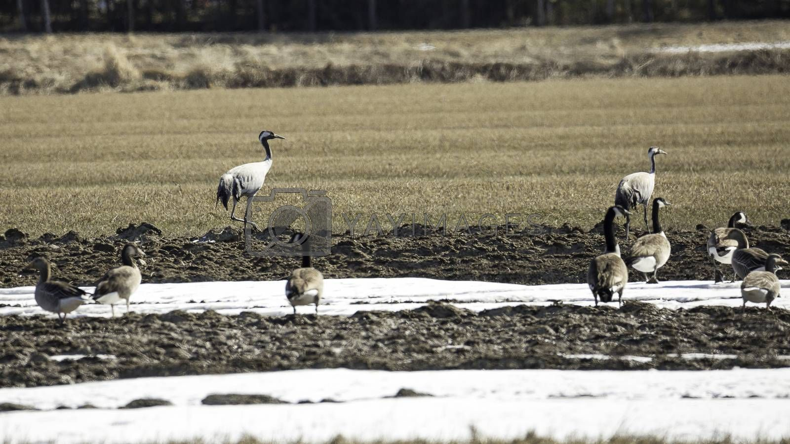 Common Cranes and Canada Geese in Field.