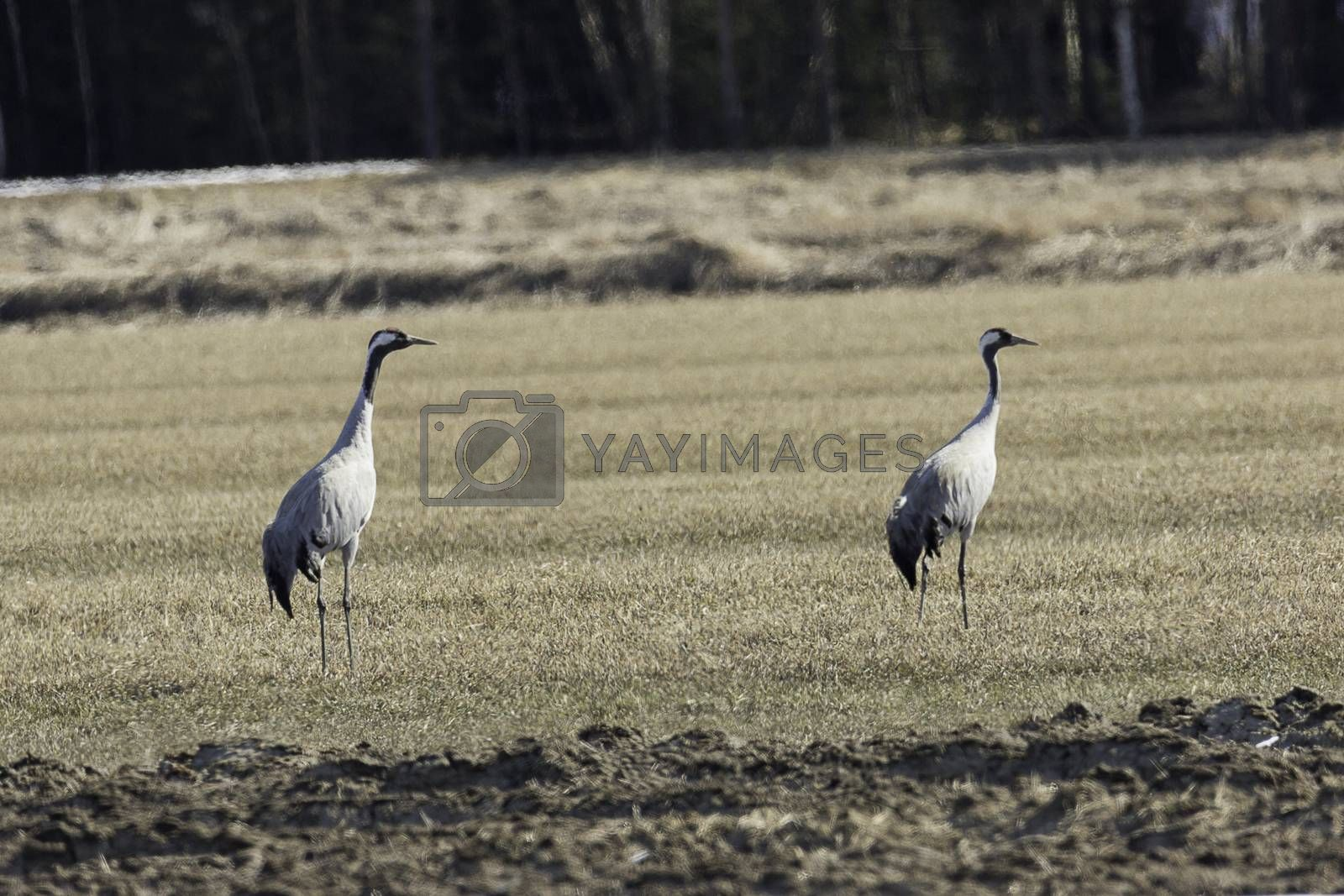 Common Cranes in Cultivated Field.