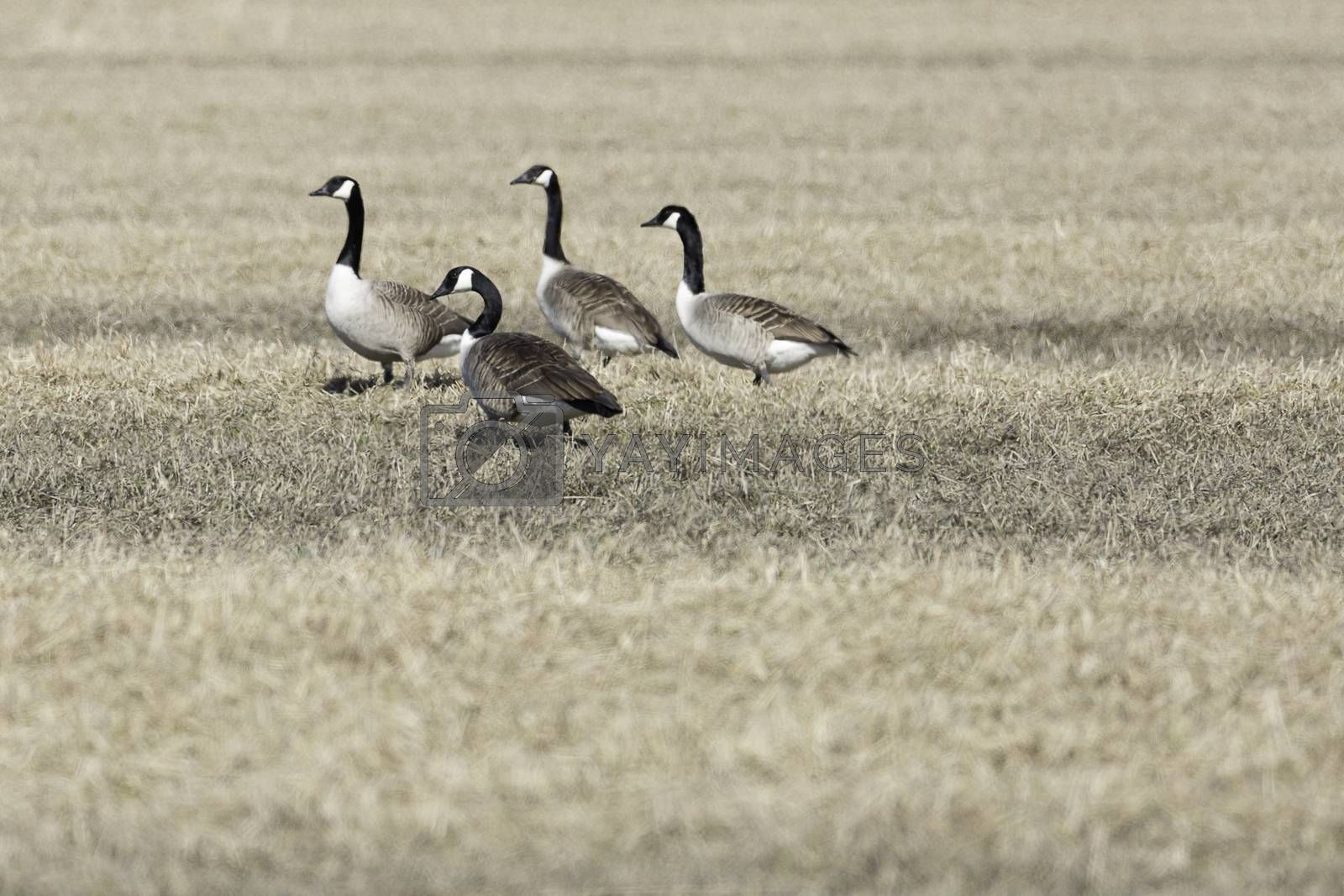 Canada Geese in Cultivated Field.