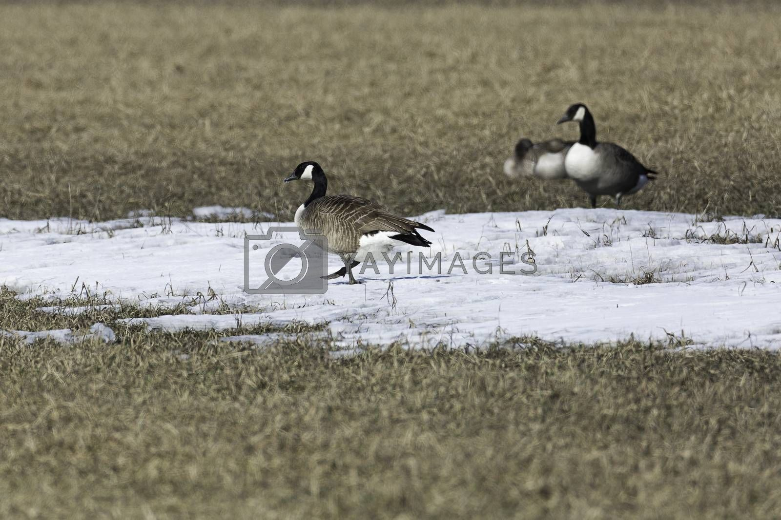 Canada Geese in Field with Snow.
