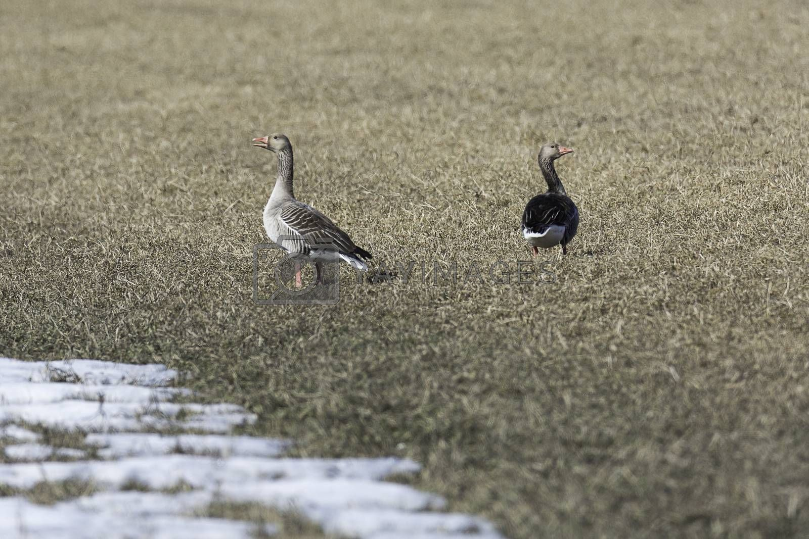 Greylag Goose in Cultivated Field.