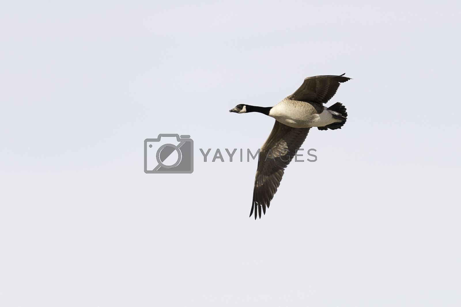 Canada Goose Flying with wings spread.