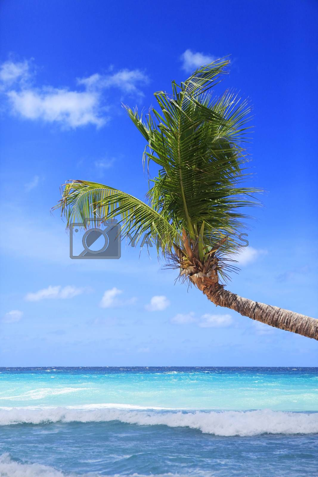 View of nice tropical beach with palm. Barbados