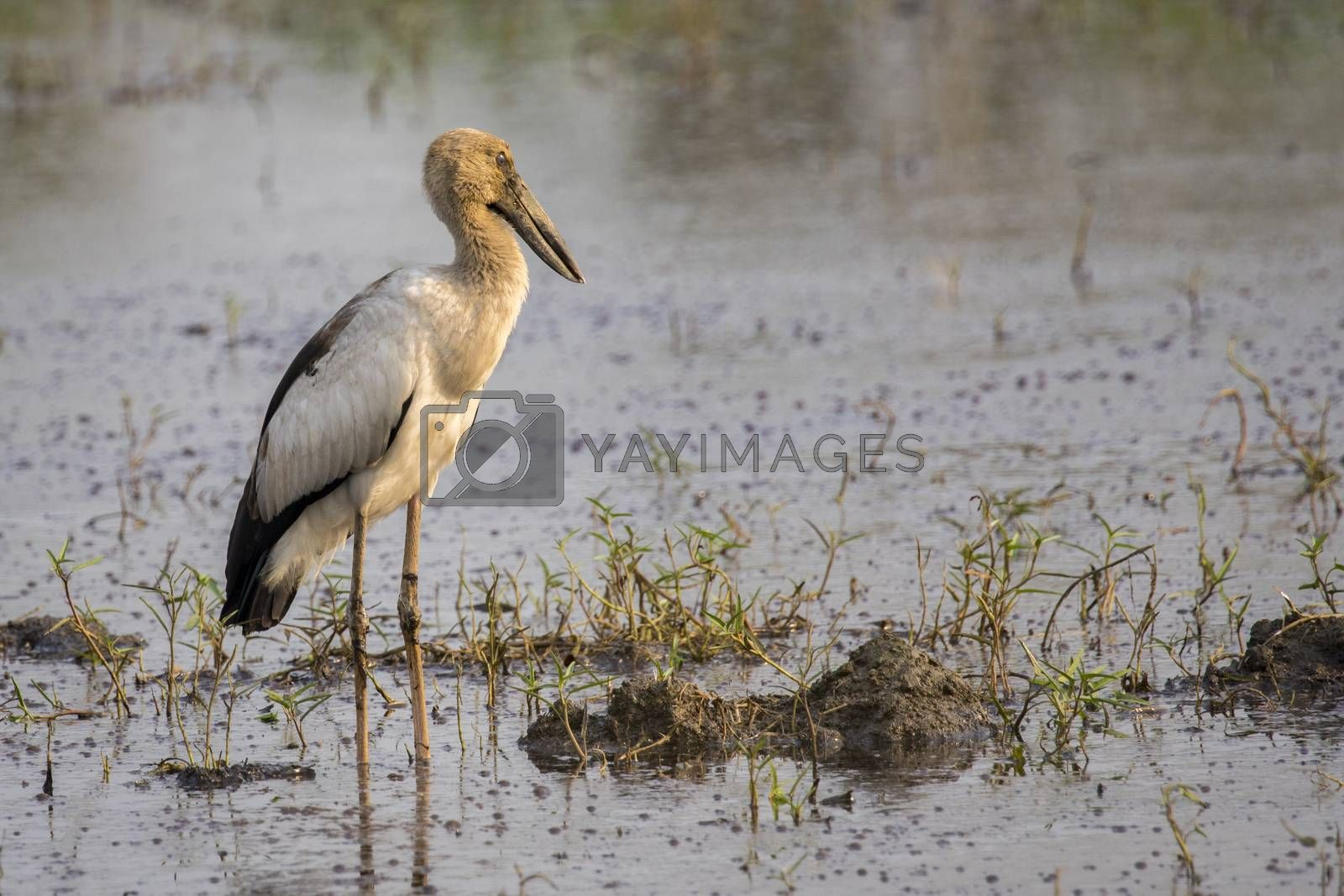 Image of Asian openbill stork on natural background. Wild Animals.