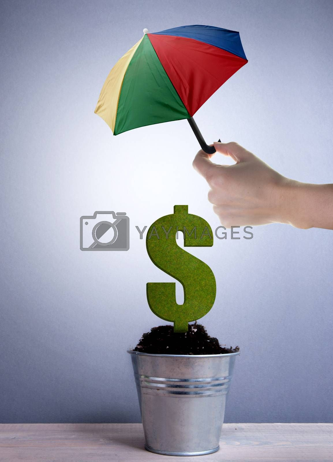 Dollar plant growing in a pot protected with an umbrella