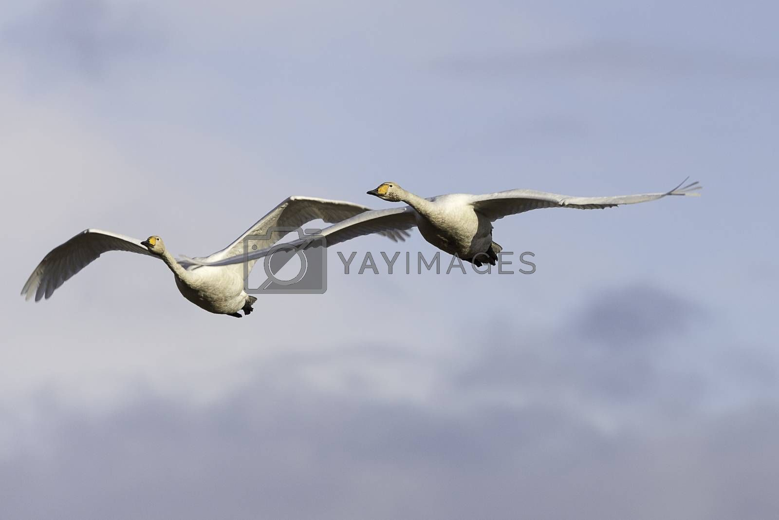 Pair of Whooper Swans Flying with a partly cloudy sky.