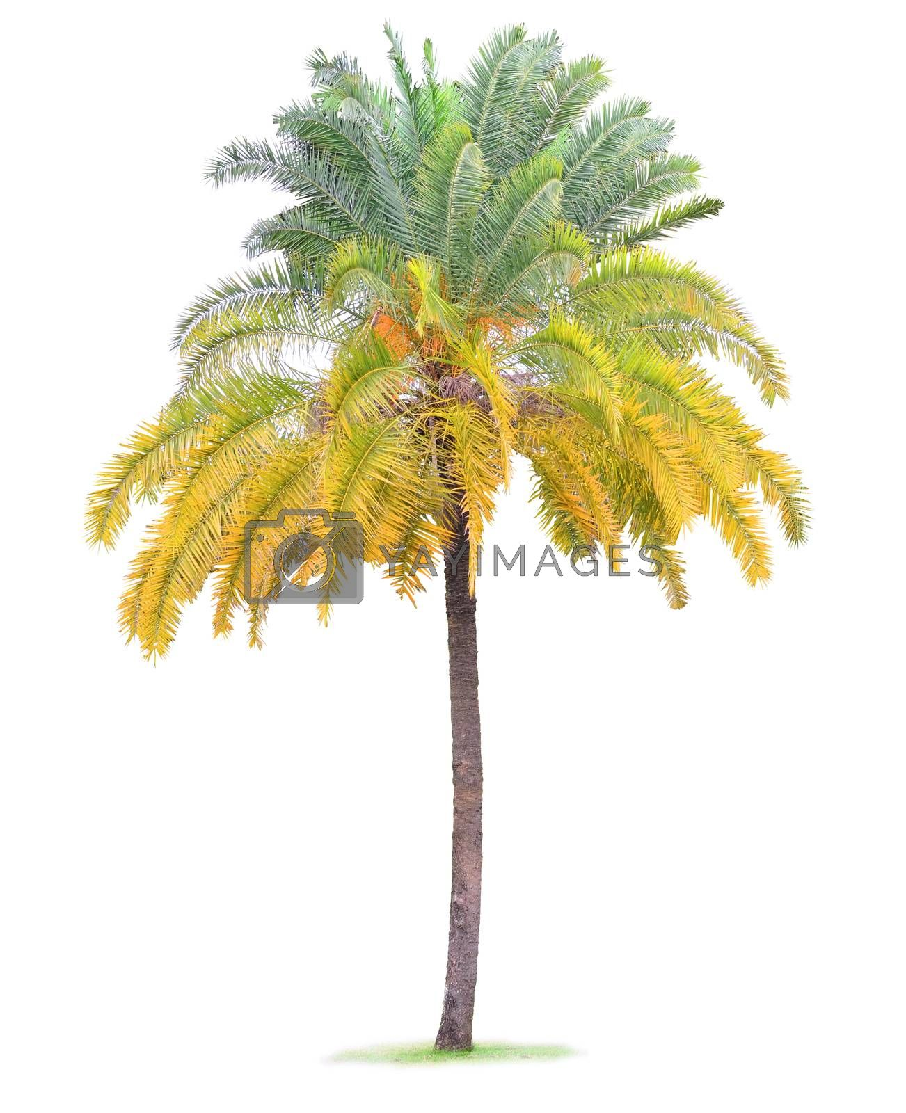 Coconut palm tree leaf isolated on white background