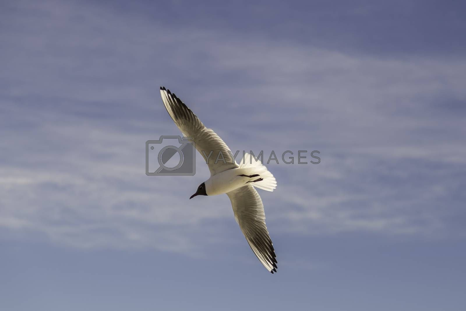 Black-headed Gull Flying with spread wings.