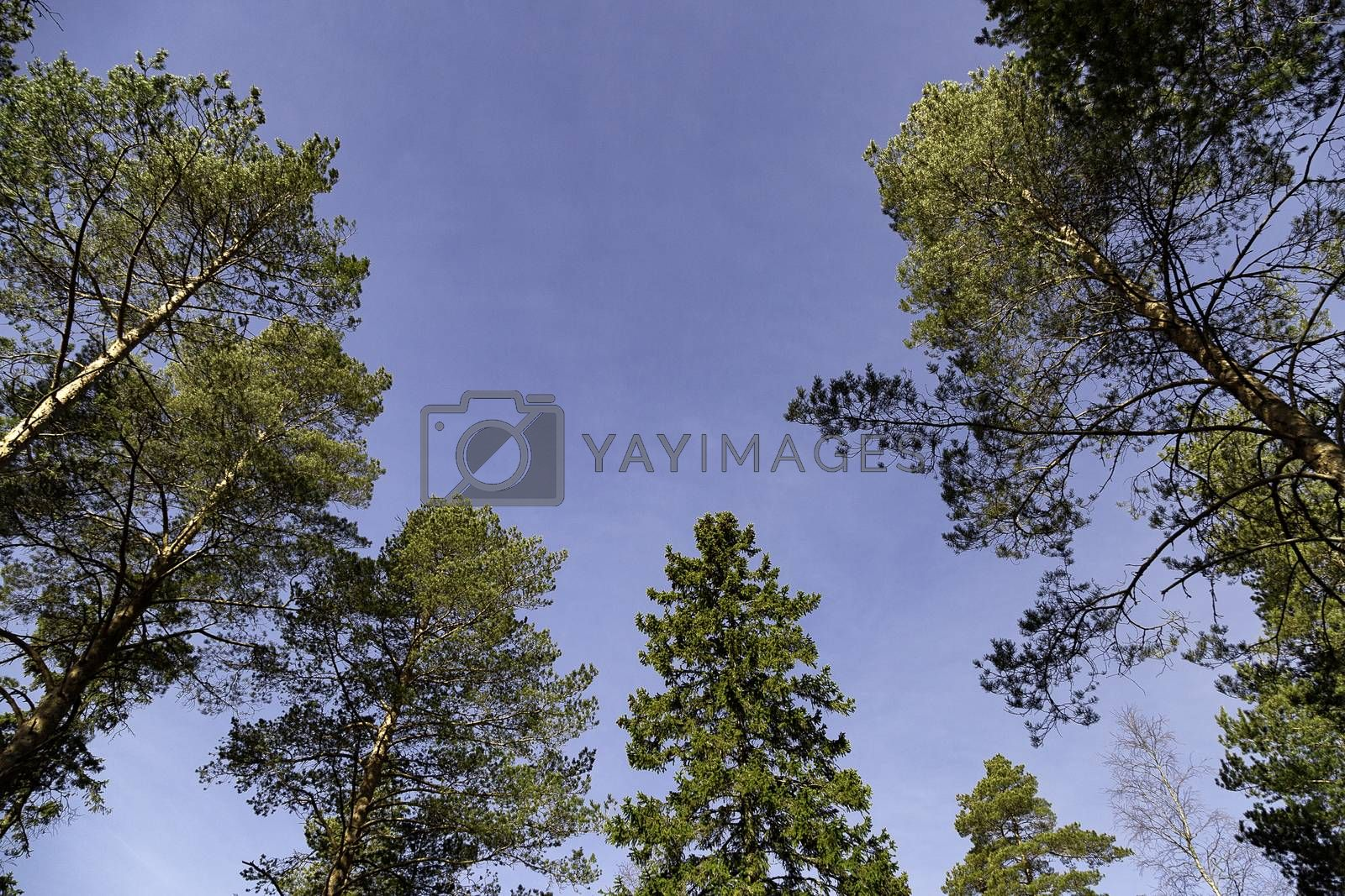 Pine and Spruce Trees with a blue sky.