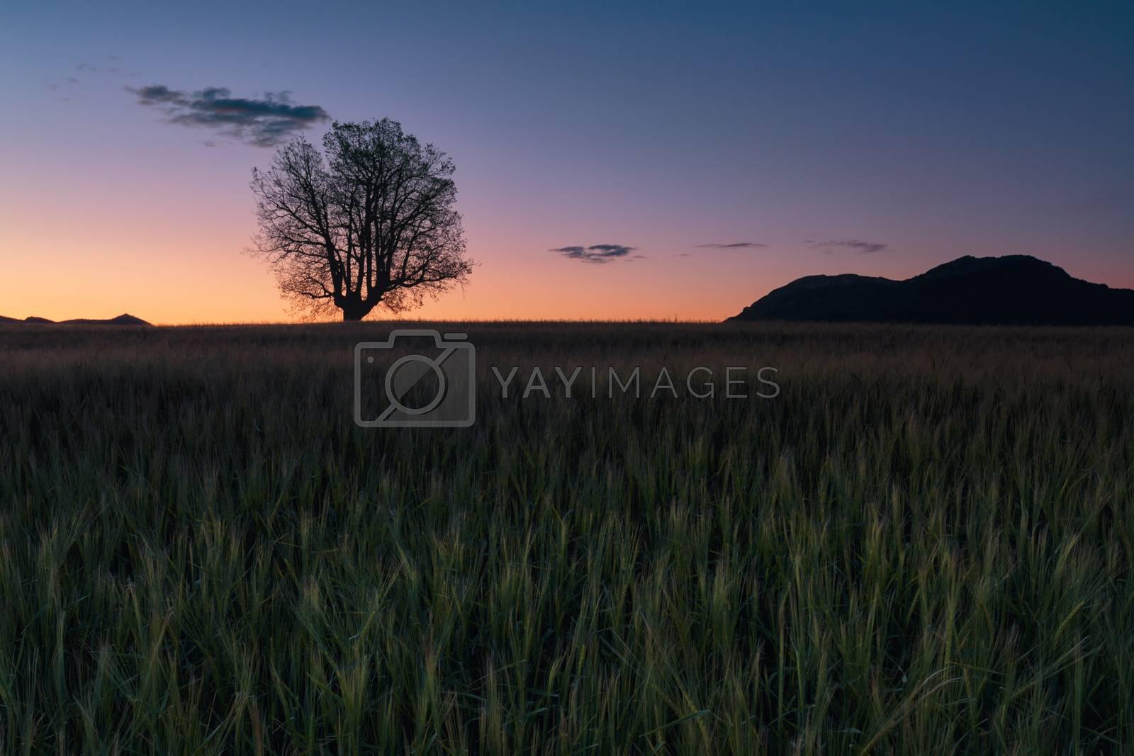Green barley field ans a lonely oak at sunrise