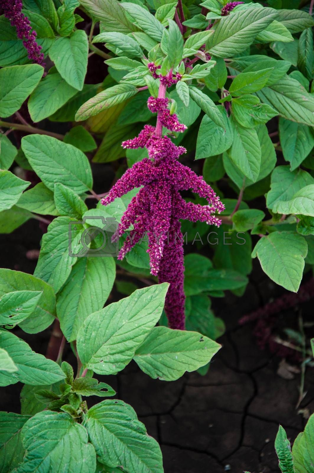 Amaranth is one of the family Amaranthaceae