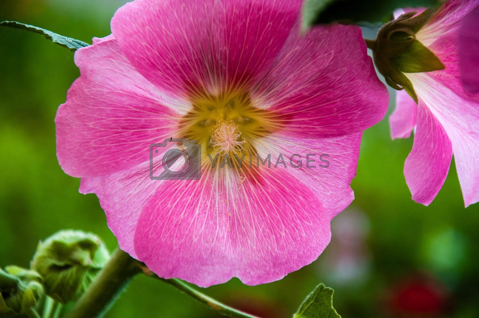 Malva Flower Pink color in spring morning
