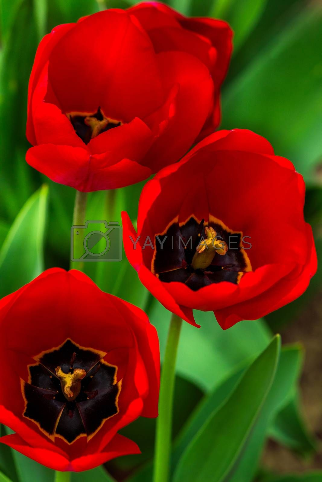 red tulips on green blurred background  by Pellinni