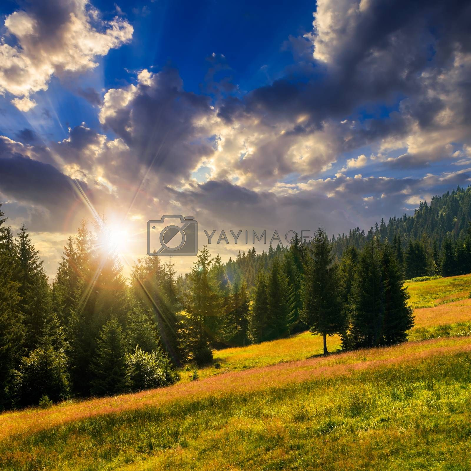 coniferous forest on a  mountain slope at sunset by Pellinni