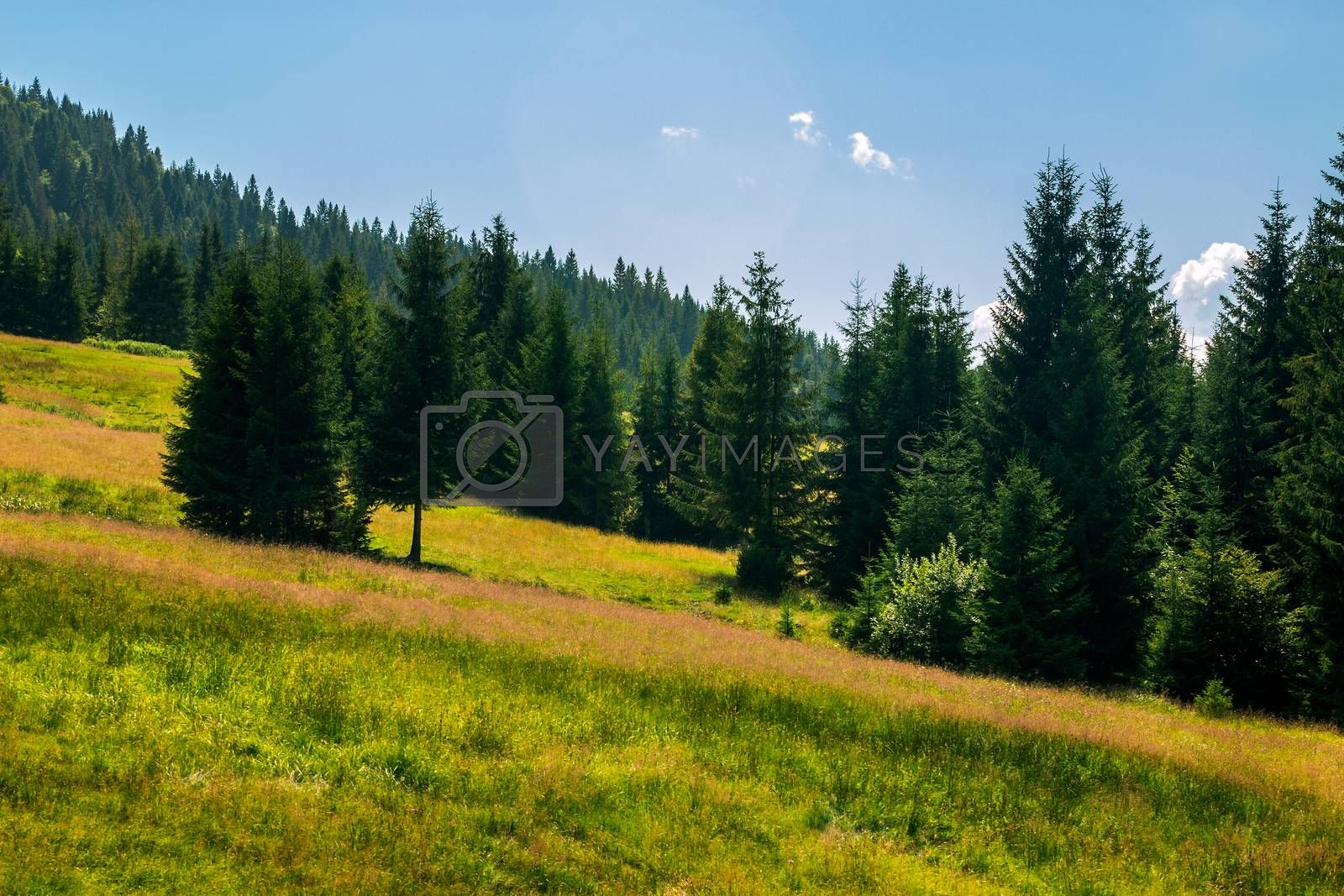 coniferous forest on a  mountain slope by Pellinni