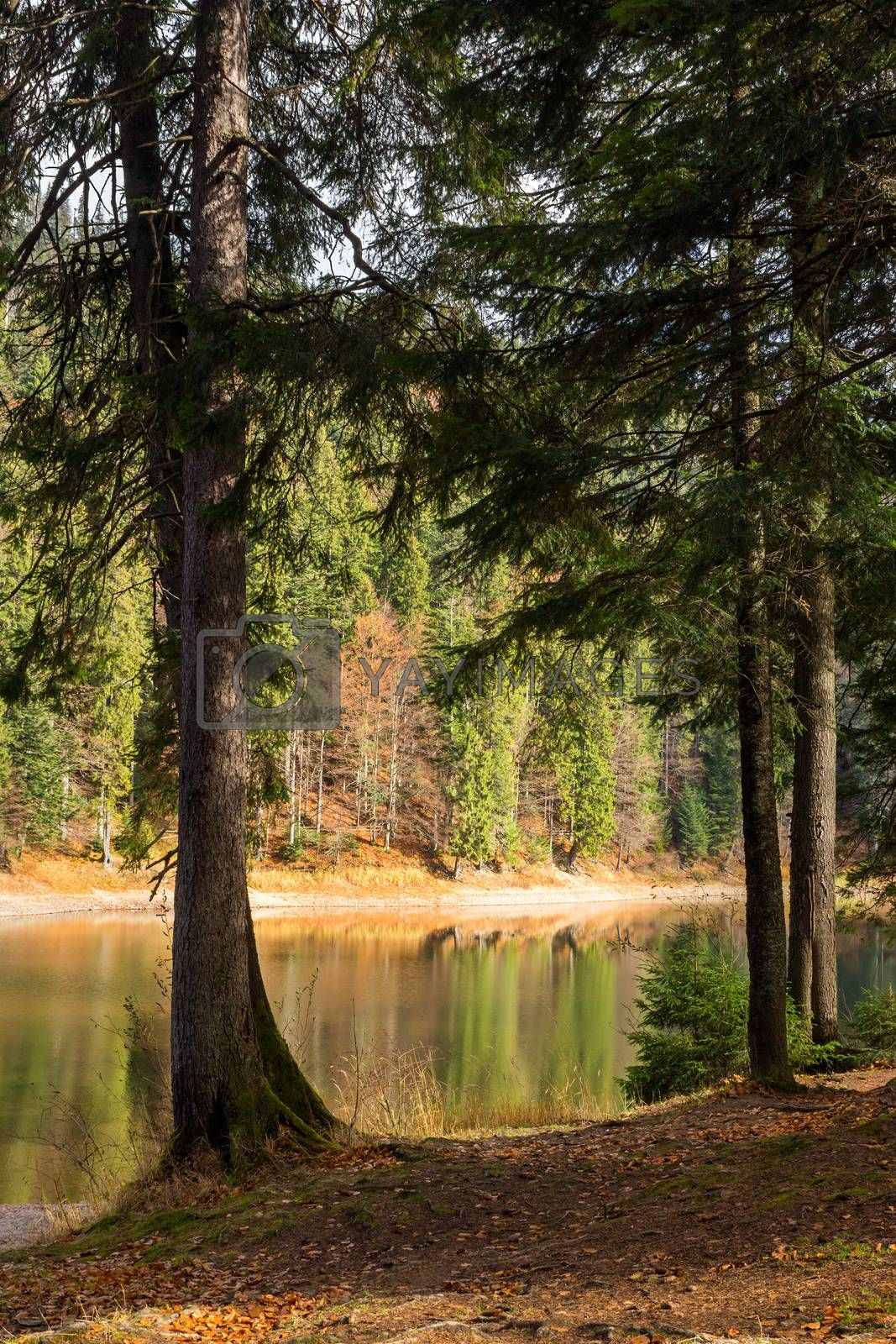 pine forest and lake near the mountain early in the morning by Pellinni