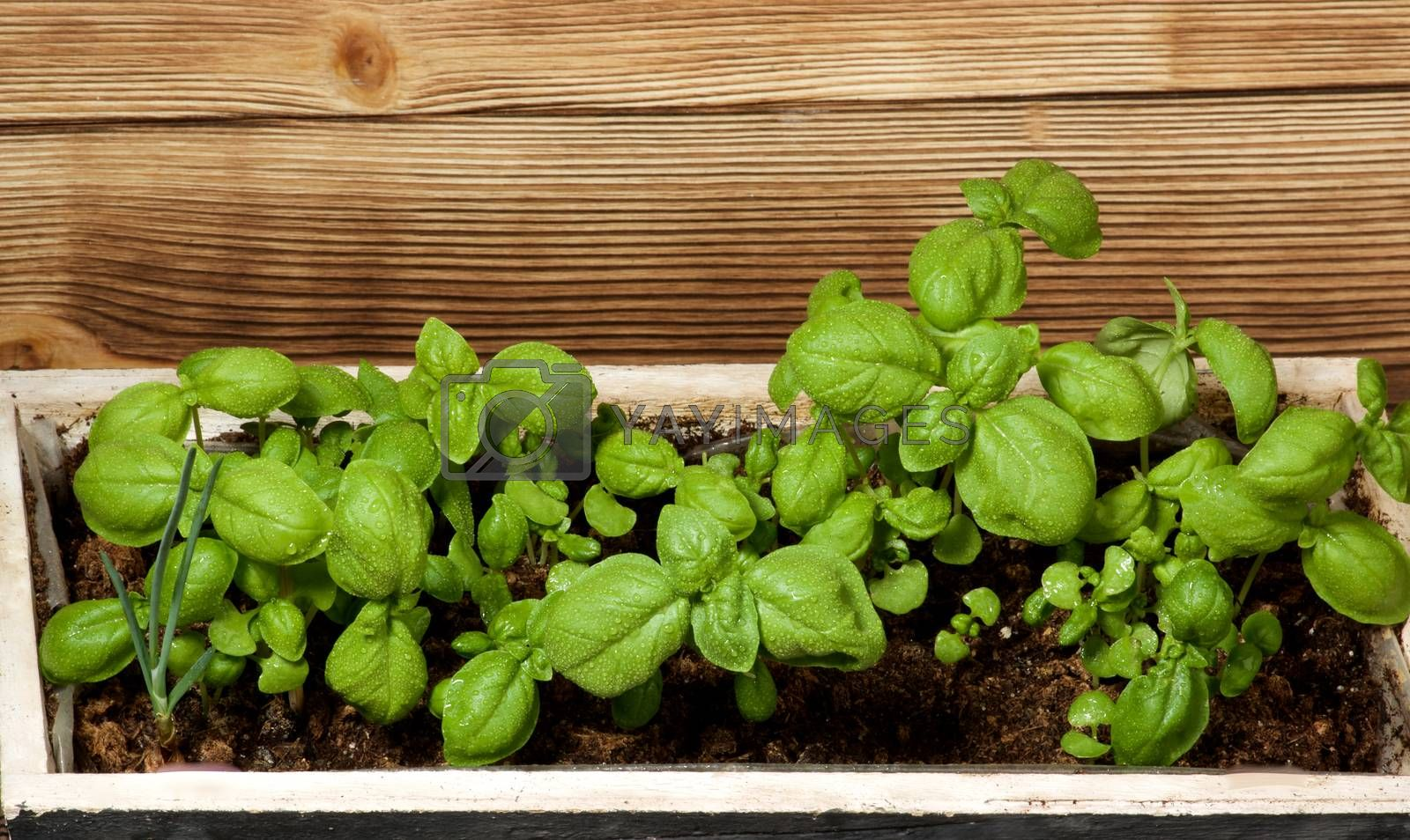 Small Lush Foliage Fresh Green Basil with Water Drops in Wooden Box closeup on Wooden background