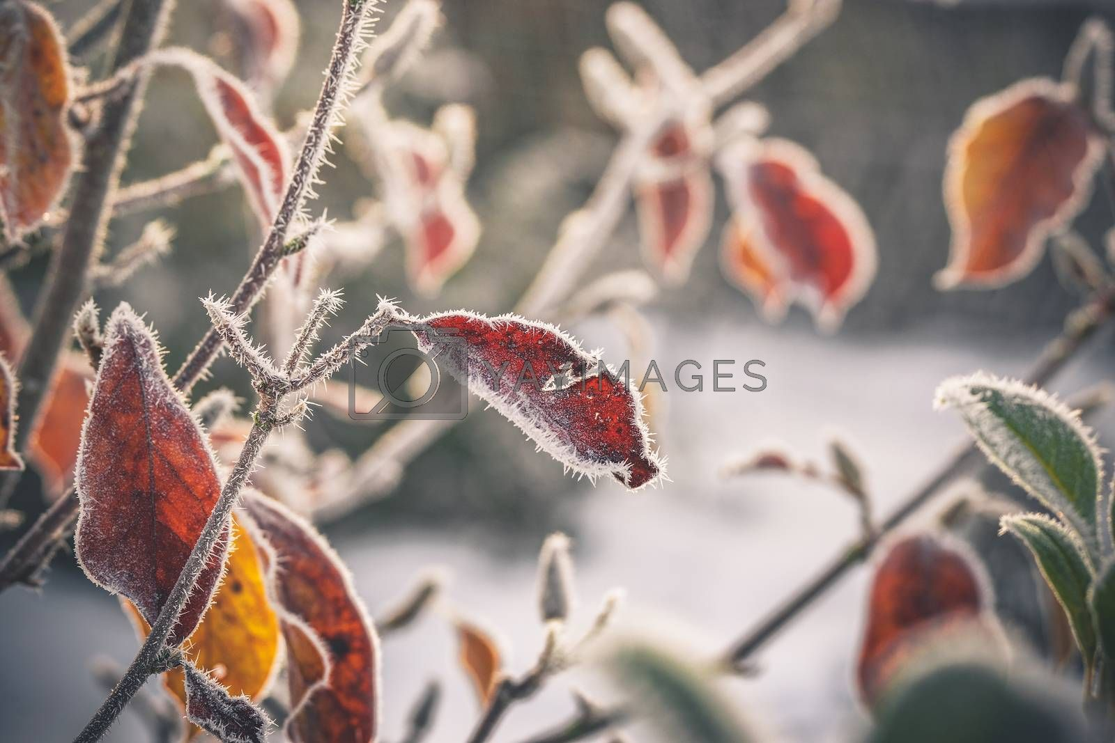 Cold morning with frost on plants in a garden in an early winter sunrise