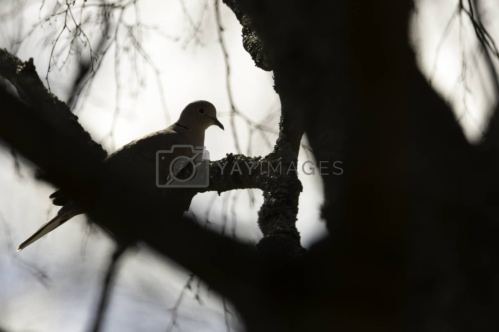 Collared Dove Sitting in Tree behind branch.