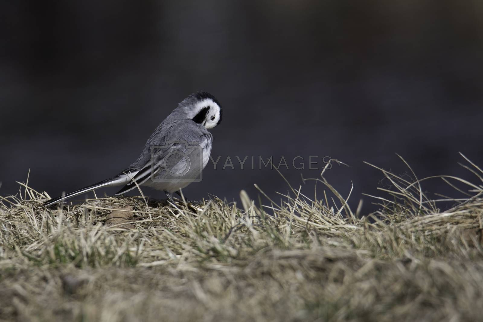 White Wagtail Cleaning Feathers in grass.