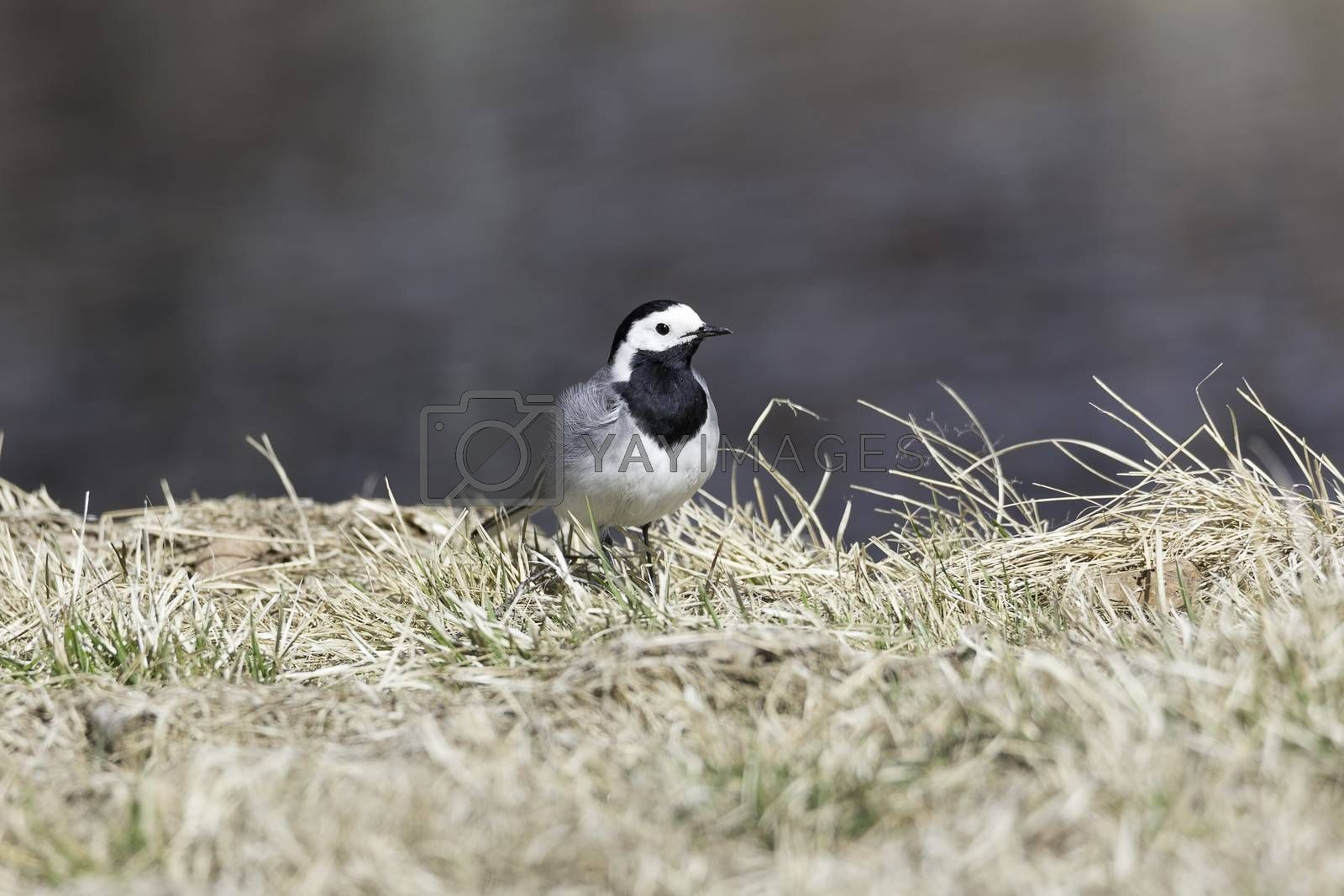 White Wagtail in Grass close up.