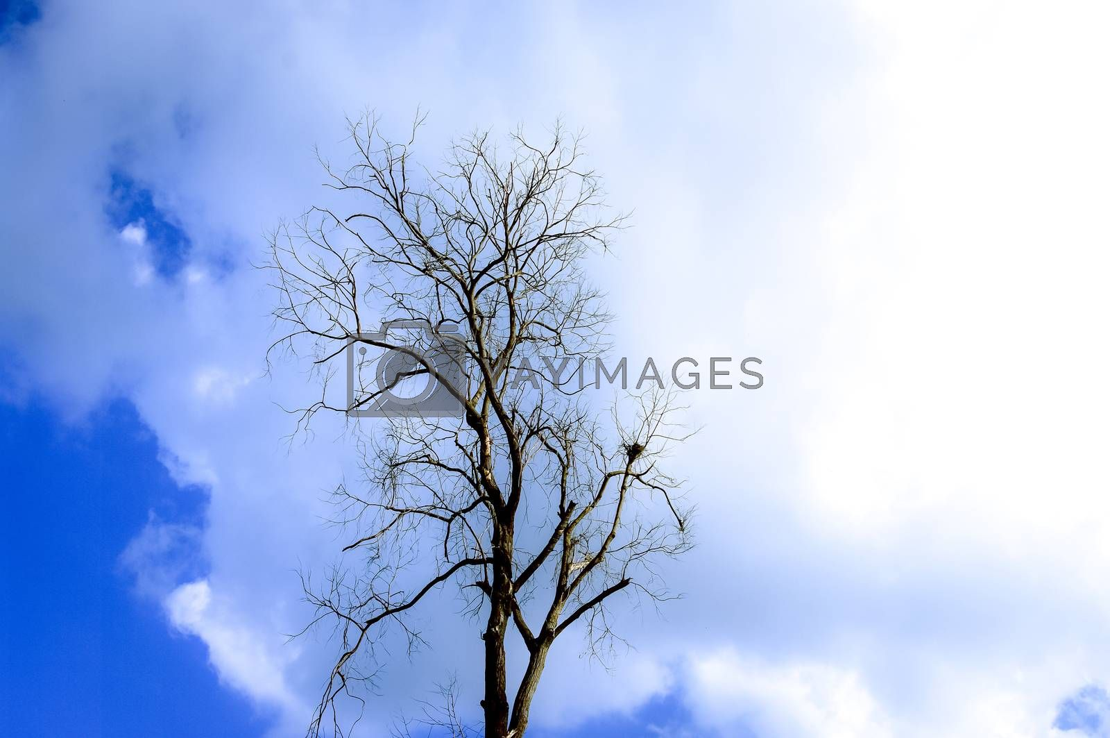 Dried tree with clouds in blue sky background