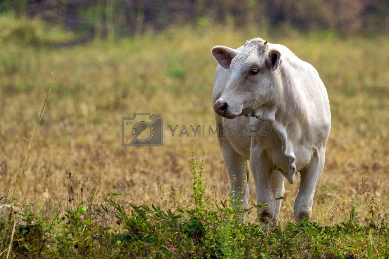 Image of white cow on nature background. Animal farm