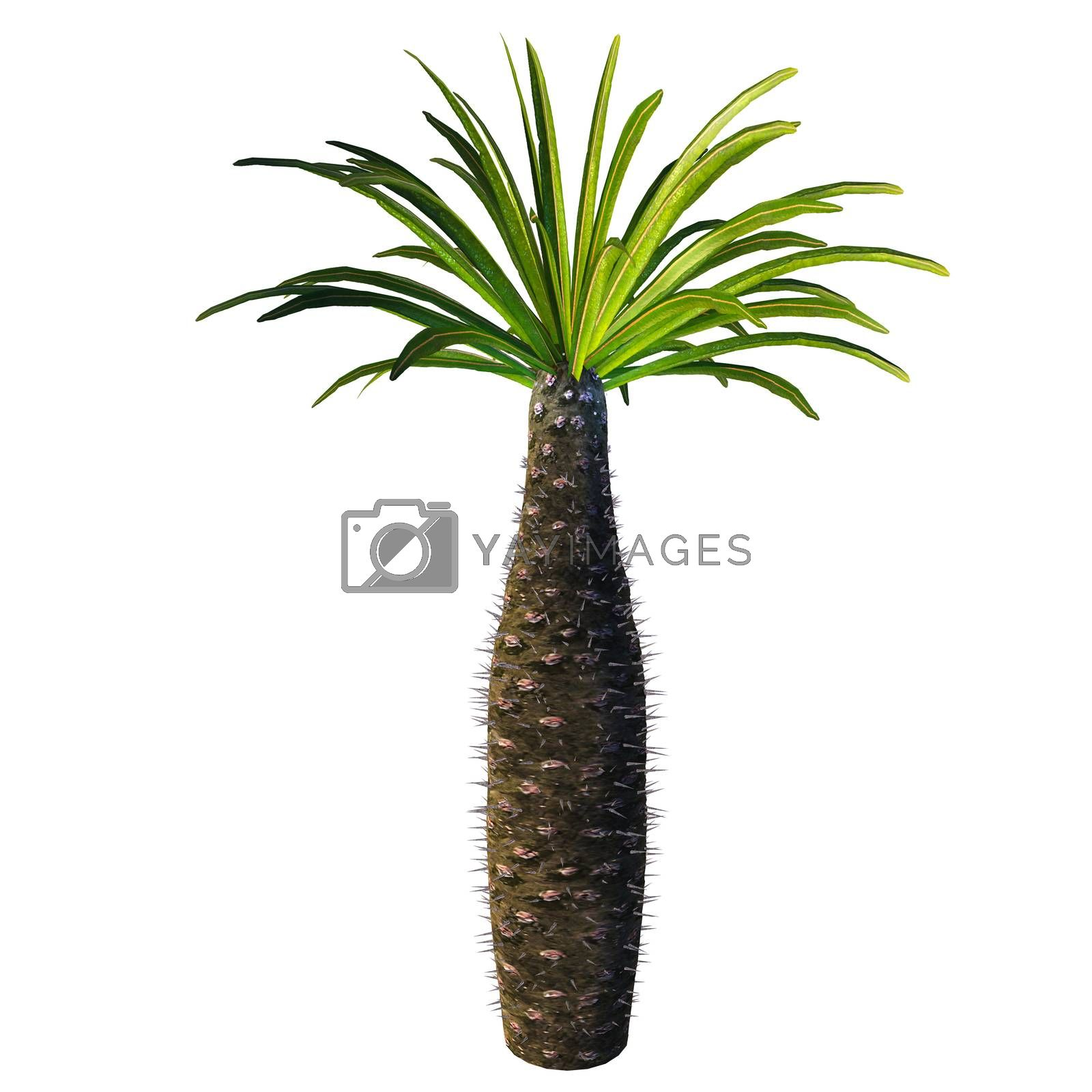 Pachypodium is a genus of African arboreal plant that lives in dry and arid conditions on Madagascar and the mainland.