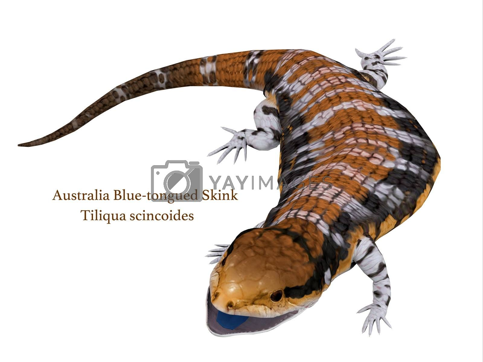 The Australia Blue-tongued Skink is a large terrestrial lizard that is active during the day and omnivorous.