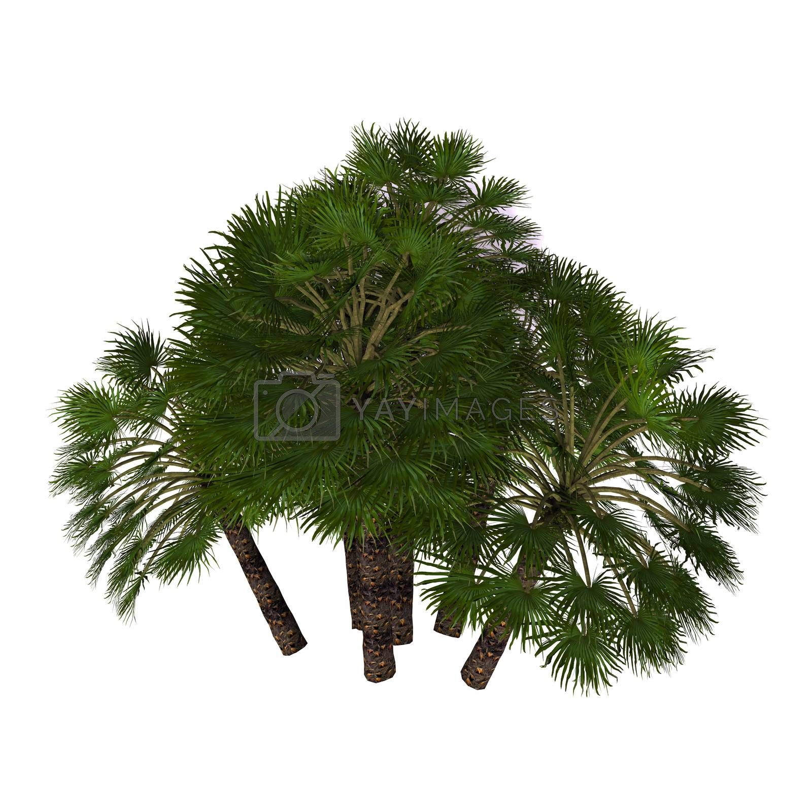 A native Mediterranean palm tree often found as a thick shrub and occasionally grows up to 7 meters.