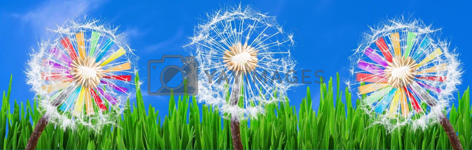 Panorama, Dandelions in the grass against a blue sky and 2 colorful windmills.
