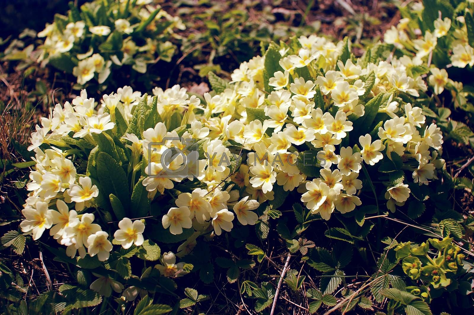 Beautiful group of yellow and white flowers in the woods