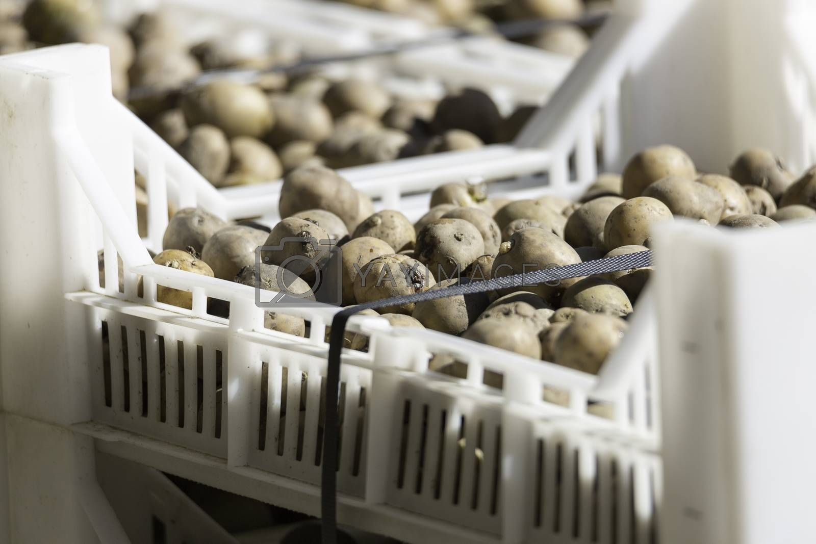 Seed Potatoes in Plastic Crate.