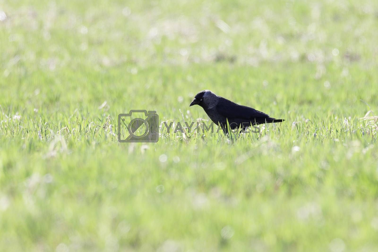 Jackdaw Looking for food in grass.