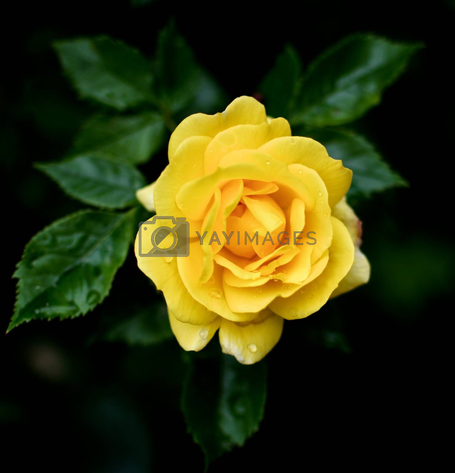Perfect Single Yellow Rose with Leafs and Water Drops closeup on Blurred Natural background Outdoors. Focus on Centre of Petals