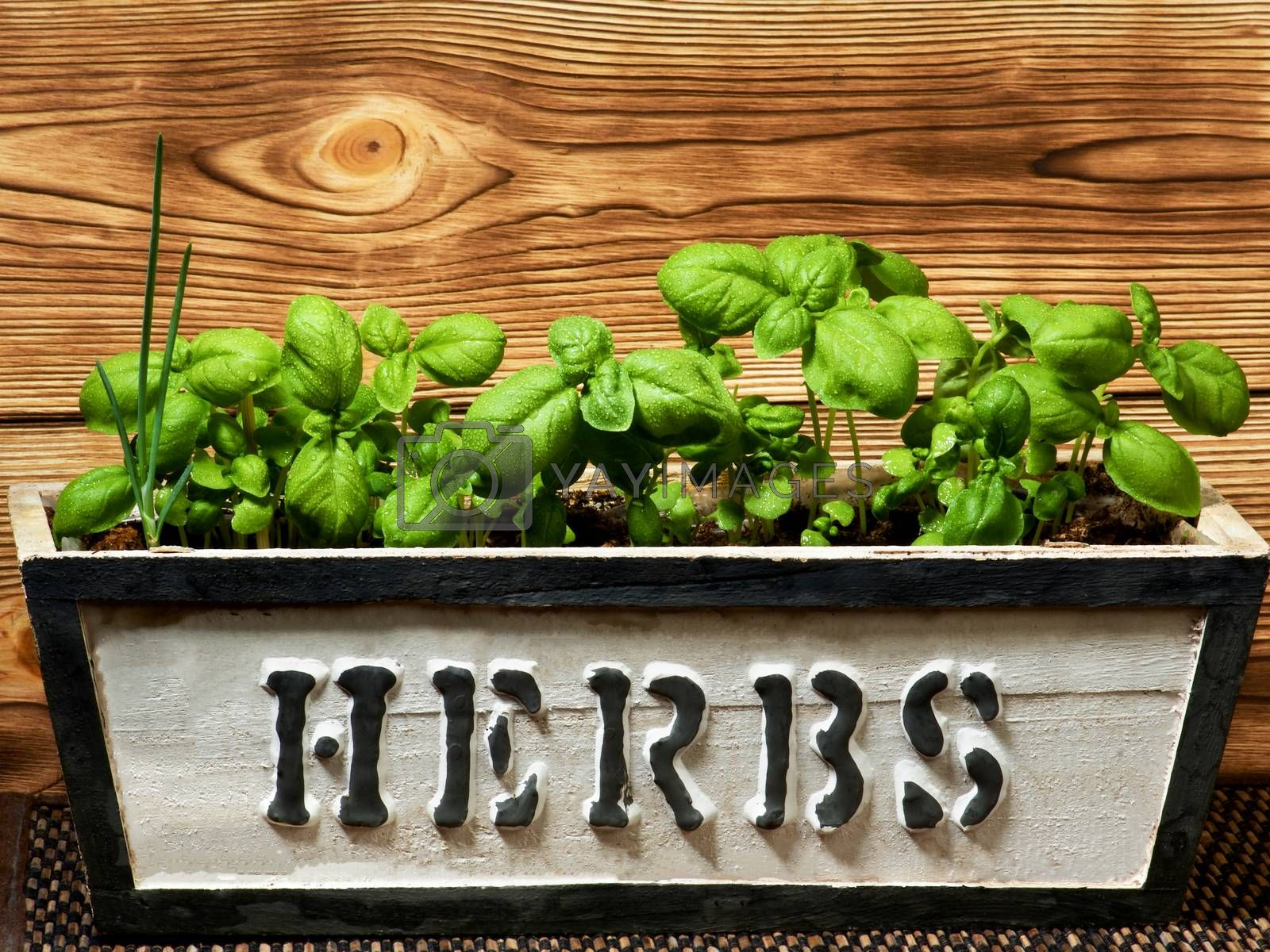 Small Lush Foliage Fresh Green Basil with Water Drops in Handmade Wooden Box closeup on Wooden background