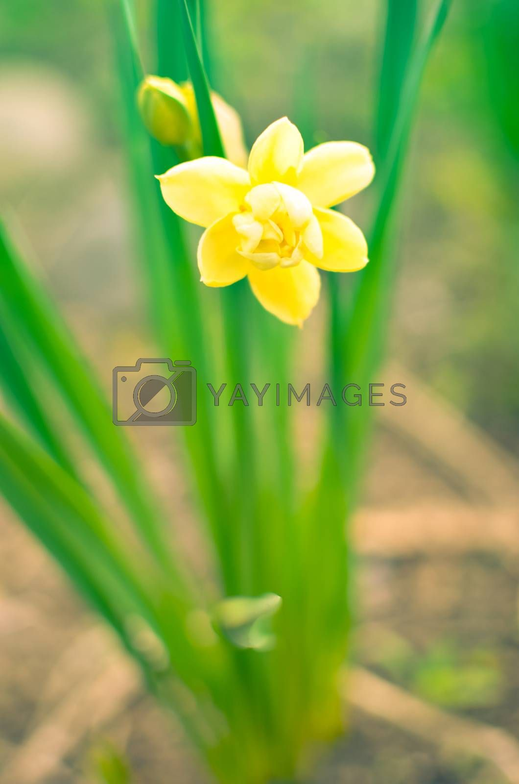 Yellow daffodil,narcissus flower in spring closeup view