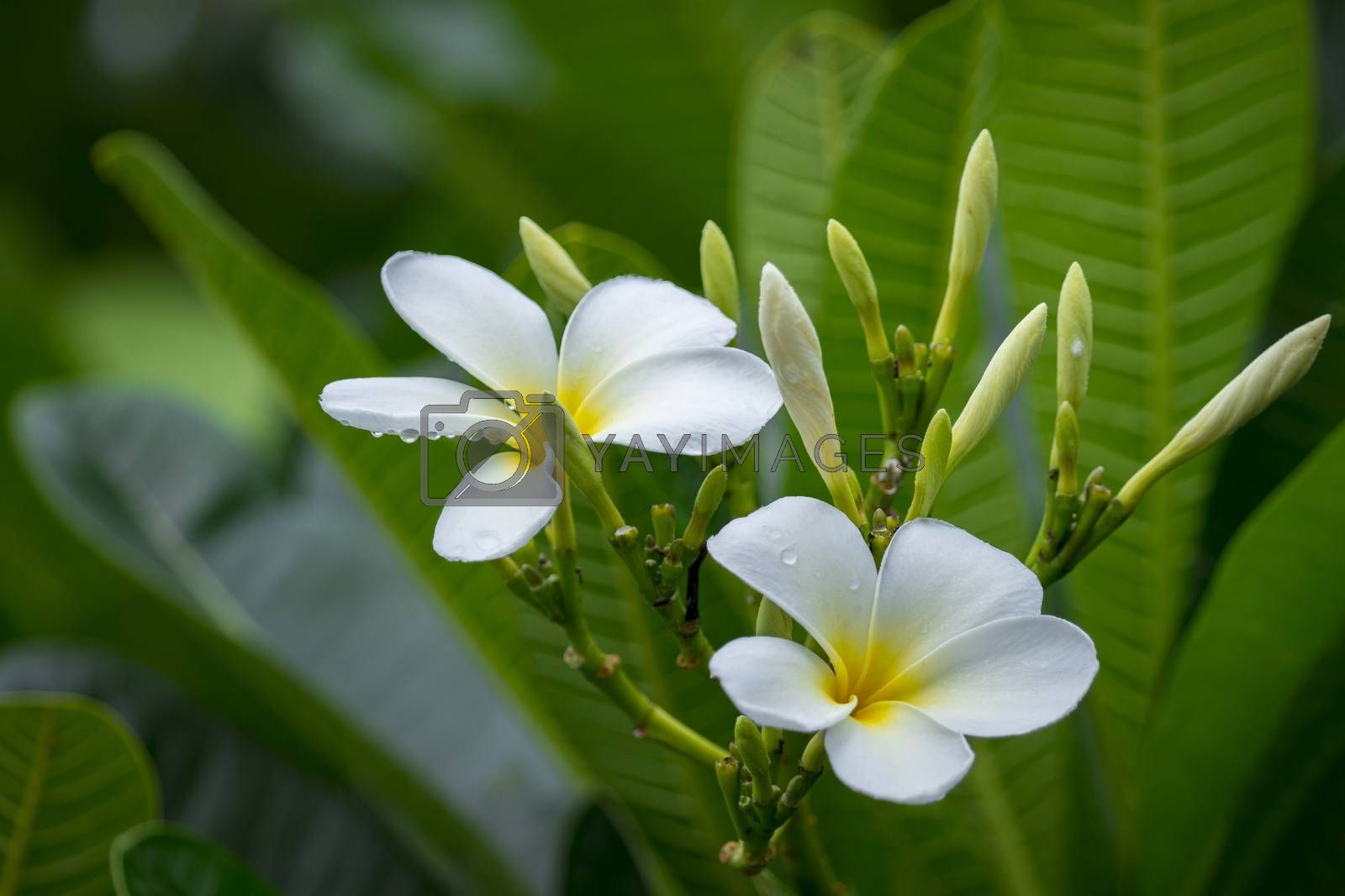 Branch of tropical flowers frangipani (plumeria) of thailand